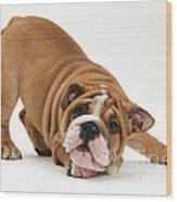 Playful Bulldog Pup Wood Print