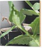 Praying Mantis Wood Print