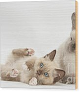 Ragdoll-cross Kitten And Young Wood Print