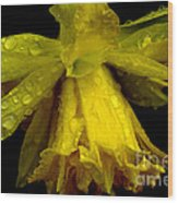 Raindrops On Double Daffodil Wood Print