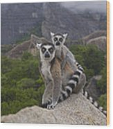 Ring-tailed Lemur Lemur Catta Mother Wood Print