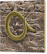 Root Knot Nematode Sem Wood Print