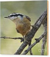 Rose Breasted Nuthatch Wood Print