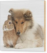 Rough Collie Pup With Rabbit Wood Print