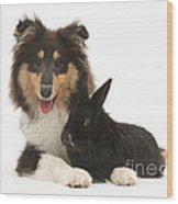 Rough Collie With Black Rabbit Wood Print