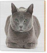Russian Blue Cat Wood Print