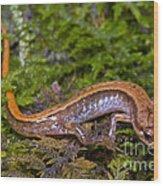 Seepage Salamander Wood Print