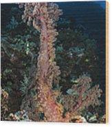 Soft Coral Seascape, Indonesia Wood Print