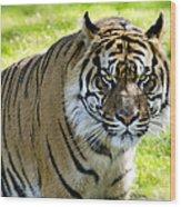 Sumatran Tiger  Wood Print