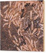 Termite Nest Reticulitermes Flavipes Wood Print