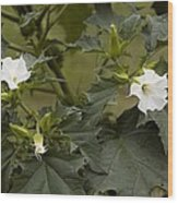Thorn Apple (datura Stramonium) Wood Print