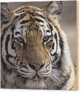 Tiger, Qinhuangdao Zoo, Hebei Province Wood Print