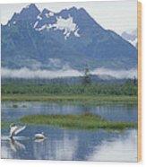 Trumpeter Swan Cygnus Buccinator Pair Wood Print