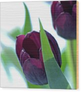 Tulip Flowers (tulipa Sp.) Wood Print