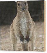 Western Grey Kangaroo Wood Print