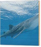 Whale Shark, Ari And Male Atoll Wood Print