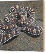 Wonderpus Octopus Wood Print