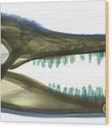 X-ray Of American Alligator Wood Print