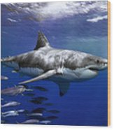 A Great White Shark Swims In Clear Wood Print by Mauricio Handler