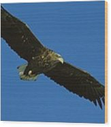 An Endangered White-tailed Sea Eagle Wood Print