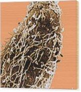 Bacteria On Sorghum Root Tip Wood Print