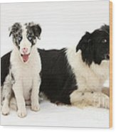 Border Collies Wood Print