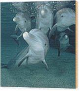 Bottlenose Dolphin Underwater Pair Wood Print