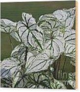Caladium Named White Christmas Wood Print