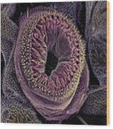 Caterpillar Foot, Sem Wood Print
