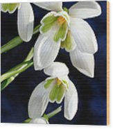 Common Snowdrop (galanthus Nivalis) Wood Print