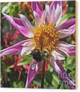 Dahlia Named Lorona Dawn Wood Print