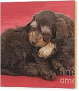 Doxie-doodle Puppies Wood Print