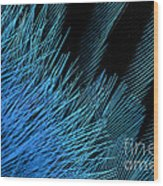 Eastern Bluebird Feathers Wood Print
