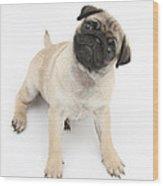 Fawn Pug Pup Wood Print
