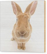 Flemish Giant Rabbit Wood Print