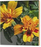 French Marigold Named Starfire Wood Print