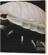 Giant Marine Isopod Wood Print