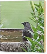Gray Catbird Wood Print