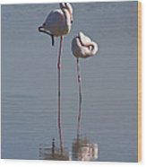 Greater Flamingo Phoenicopterus Ruber Wood Print