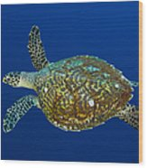 Hawksbill Sea Turtle, Kimbe Bay, Papua Wood Print