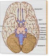 Illustration Of Cranial Nerves Wood Print