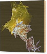 Macrophage Engulfing Tuberculosis Vaccine Wood Print by