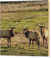 3 Magnificent Bull Elk Wood Print by Cindy Wright