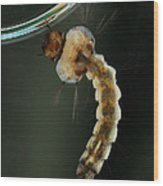 Mosquito Larva Wood Print