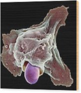 Neutrophil Engulfing Thrush Fungus, Sem Wood Print by