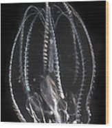Northern Comb Jelly Wood Print