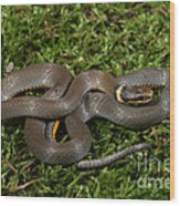 Northern Ringneck Snake Wood Print