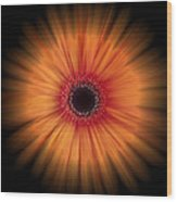 Orange Gerbera Daisy On Black Wood Print