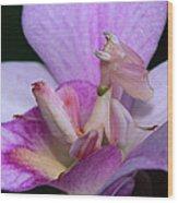 Orchid Mantis Hymenopus Coronatus Wood Print