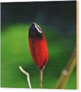 Red Chilli Pepper Wood Print